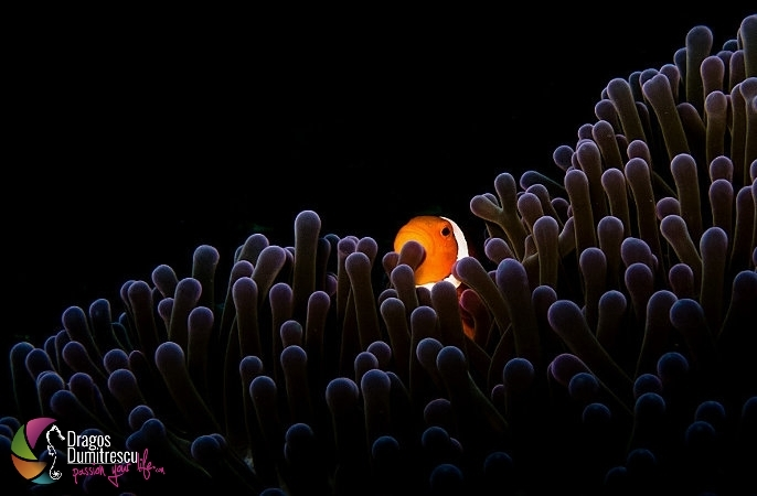 False clown anemone fish, nemo hiding in the anemone