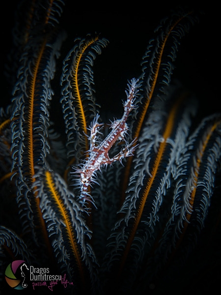 Ornate Ghost Pipefish - Solenostomus paradoxusOrnate Ghost Pipefish - Solenostomus paradoxus